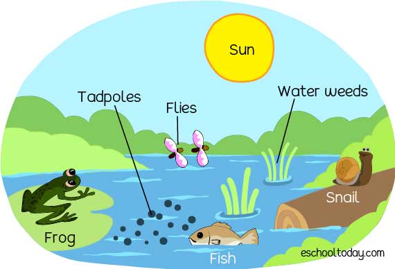 An example of a pond ecosystem