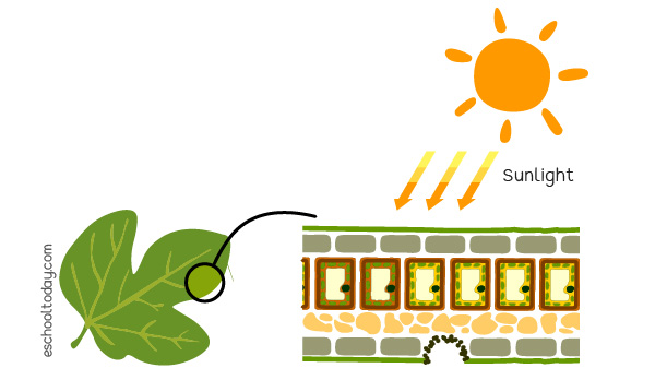 Sunlight is needed for photosynthesis