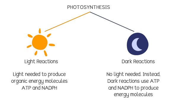 Light and dark reactions in photosynthesis