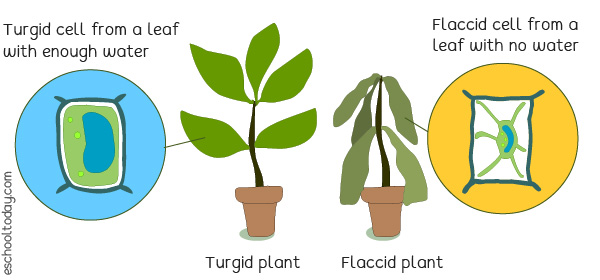 Plants with water in the leaf cells