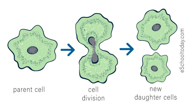 What is binary fission?