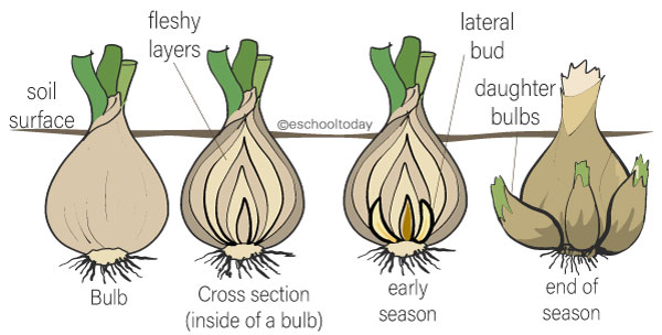 Bulbs in vegetative propagation