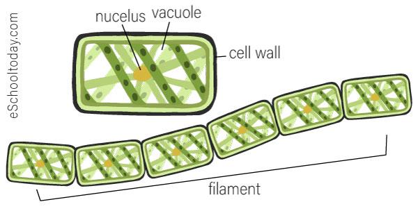 Fragmentation in spirogyra.