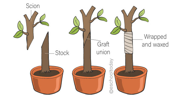 What is grafting?
