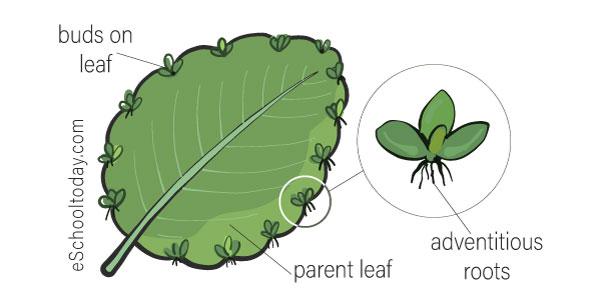 Vegetative Propagation with stems