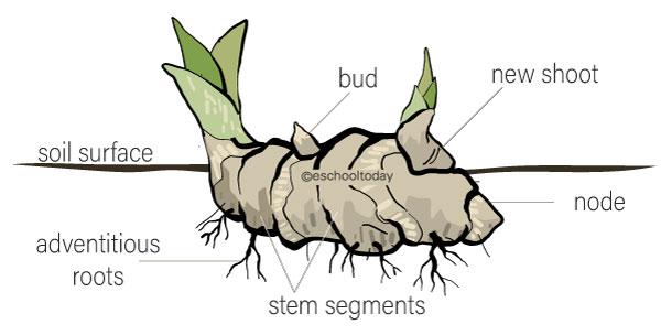 What is a rhizome in vegetative propagation?