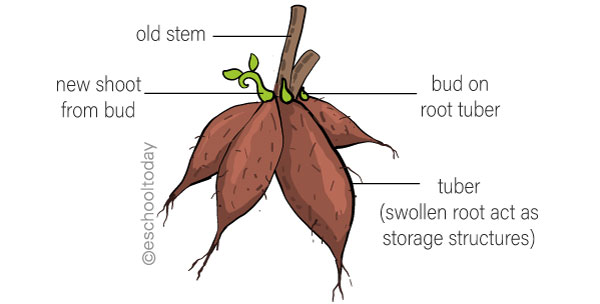 Vegetative Propagation with Roots