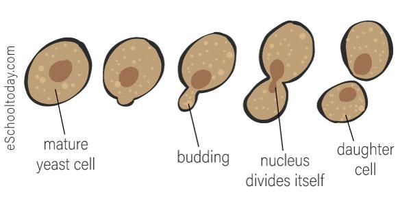 Budding in a uni-cellular organism