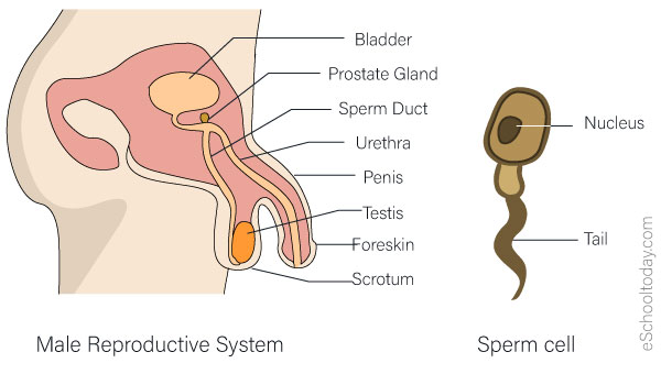 The male reproduction system